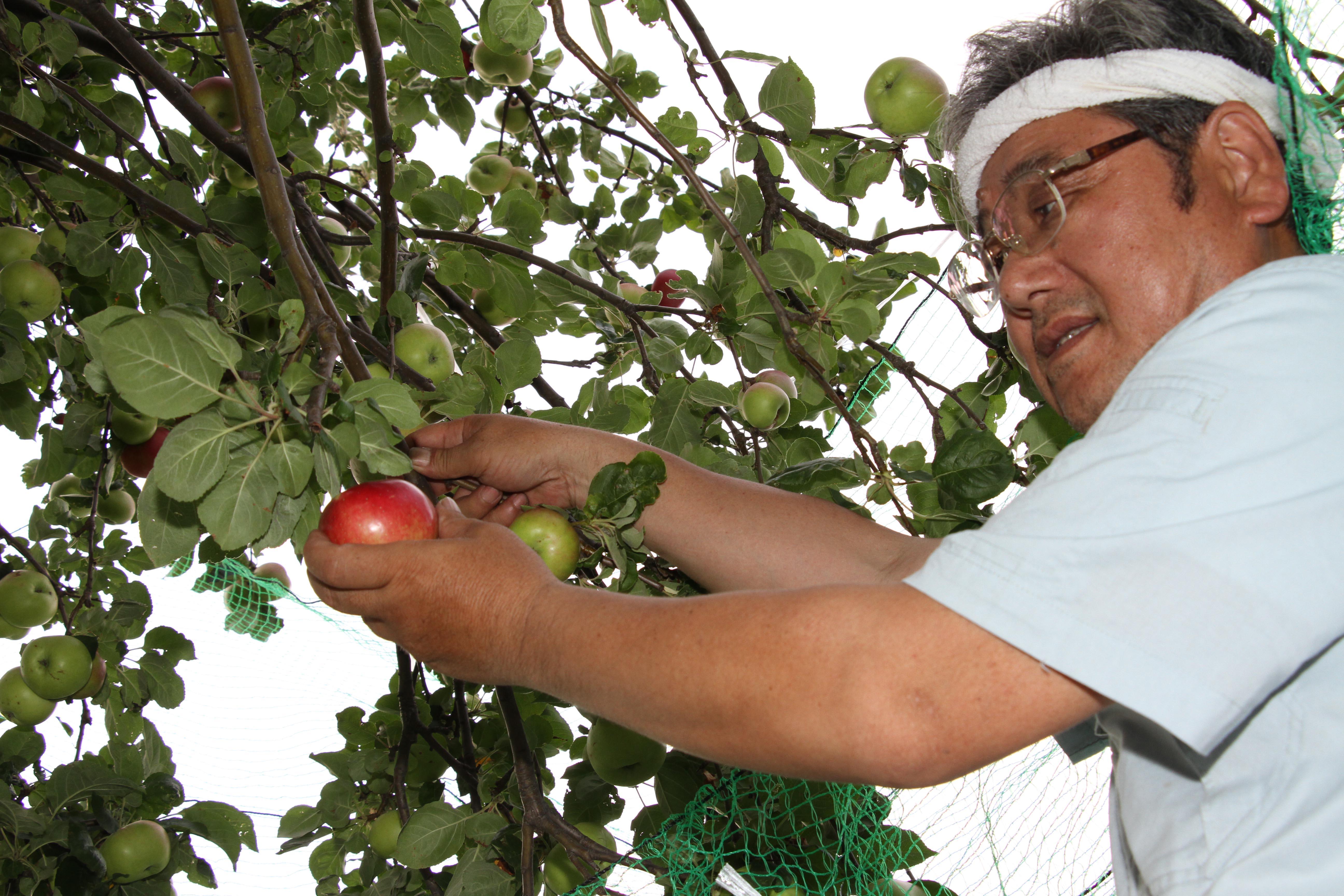 わらびりんごの収穫