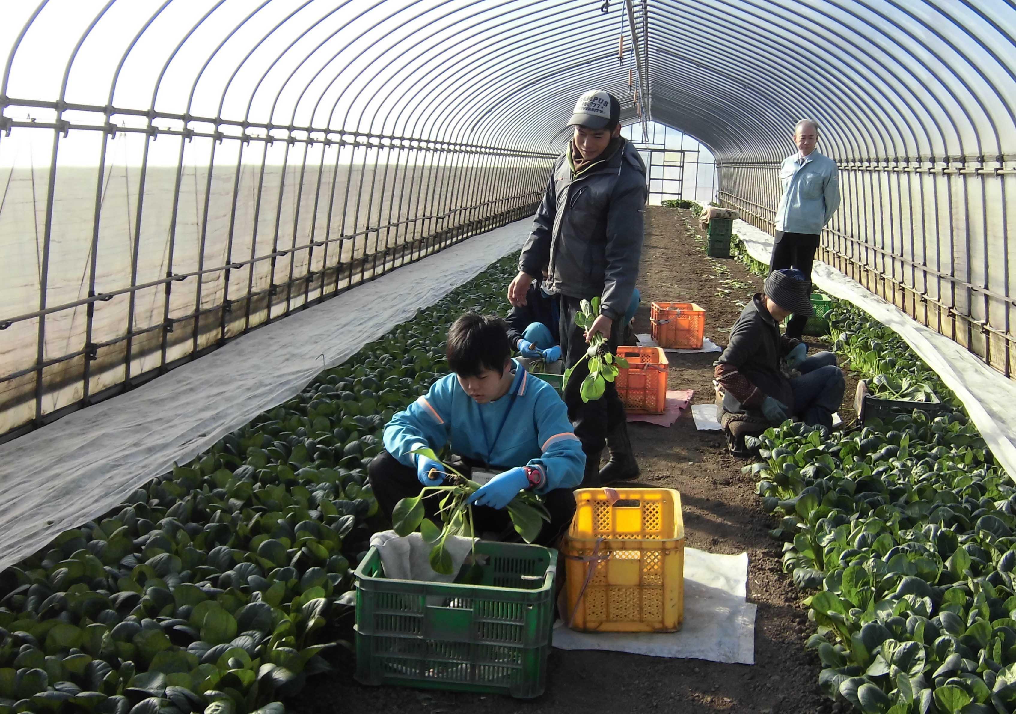 中学生が収穫体験(野田支店)