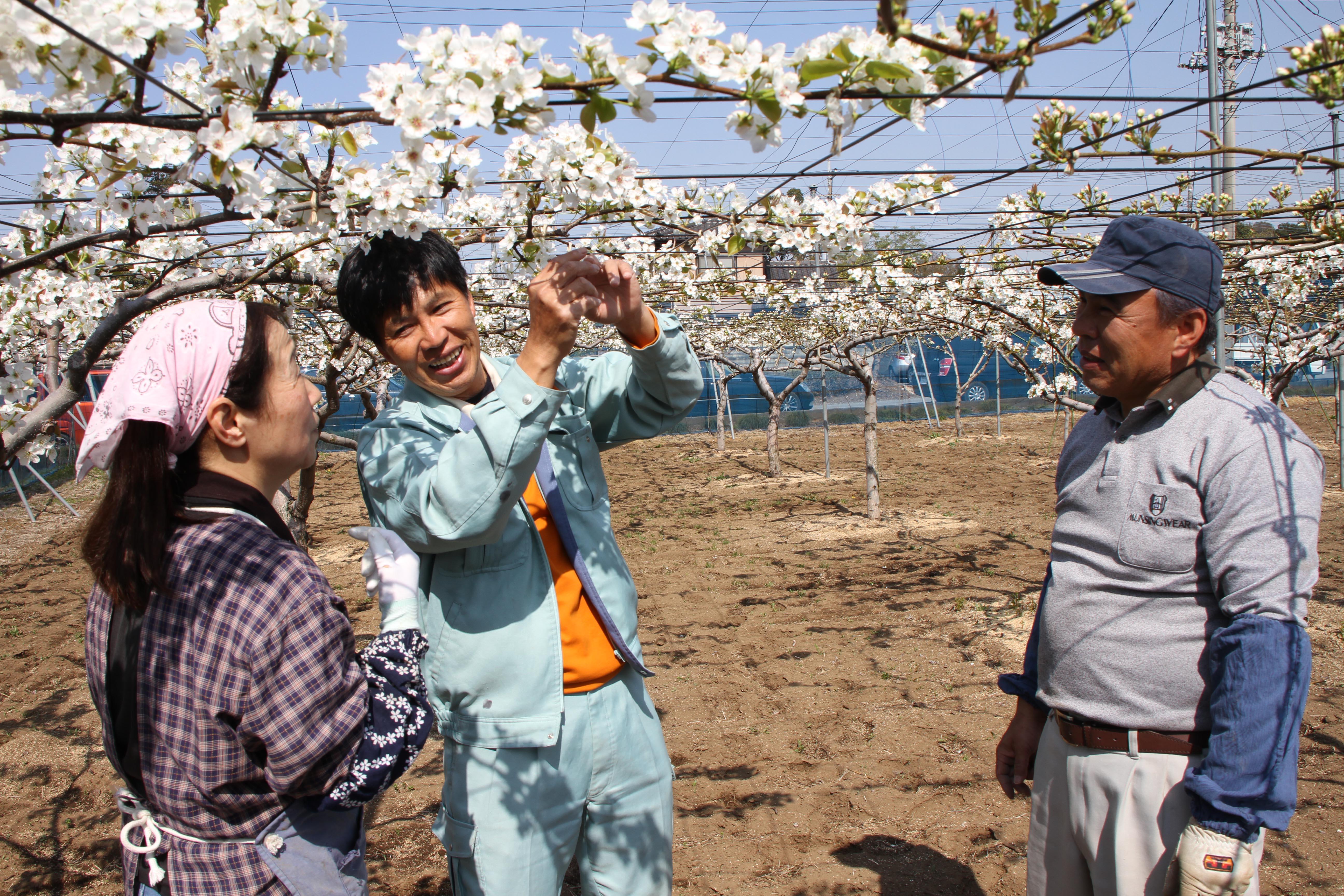 梨の摘花と授粉の伝授(野田支店)