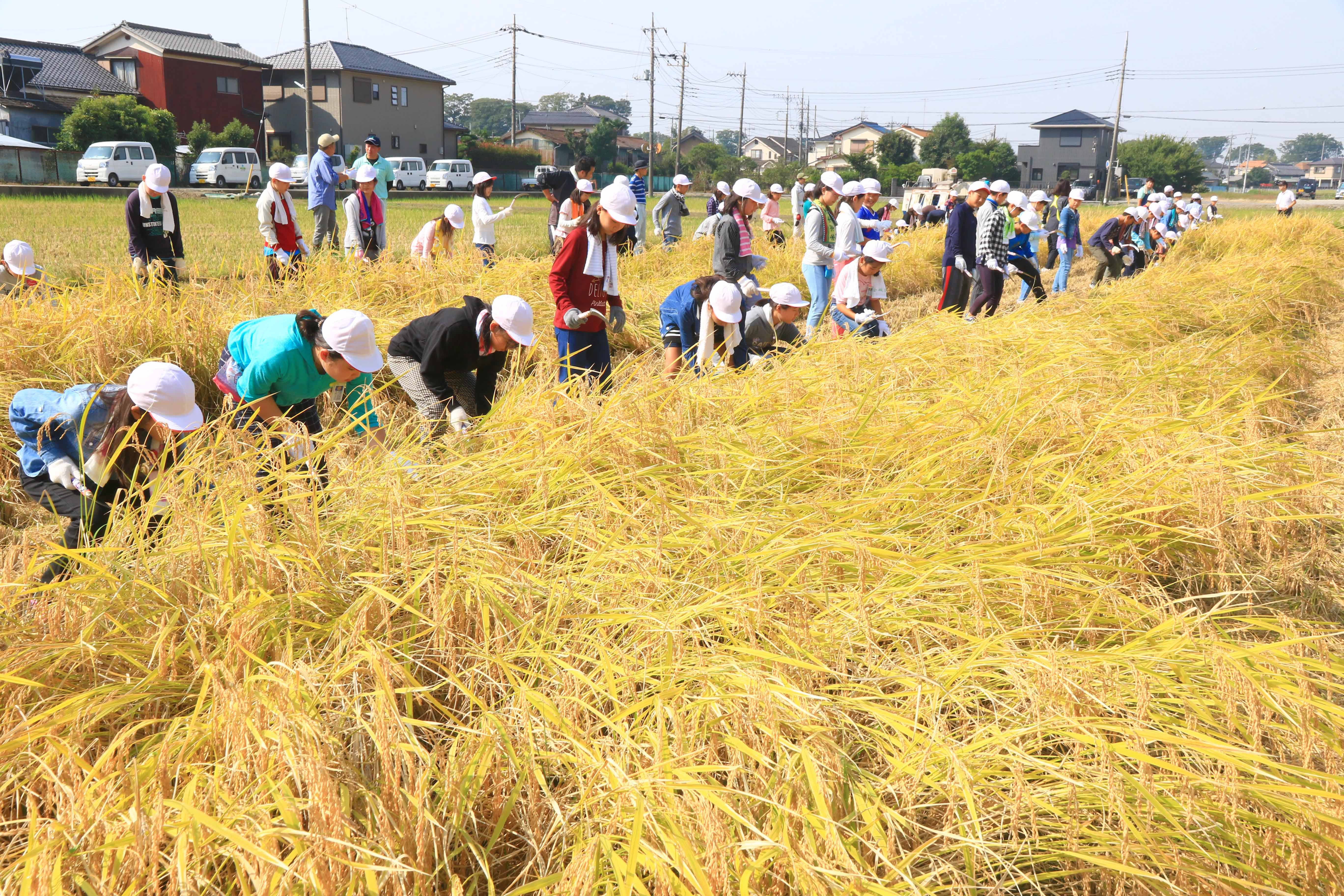 支援米の稲刈り(植水支店)