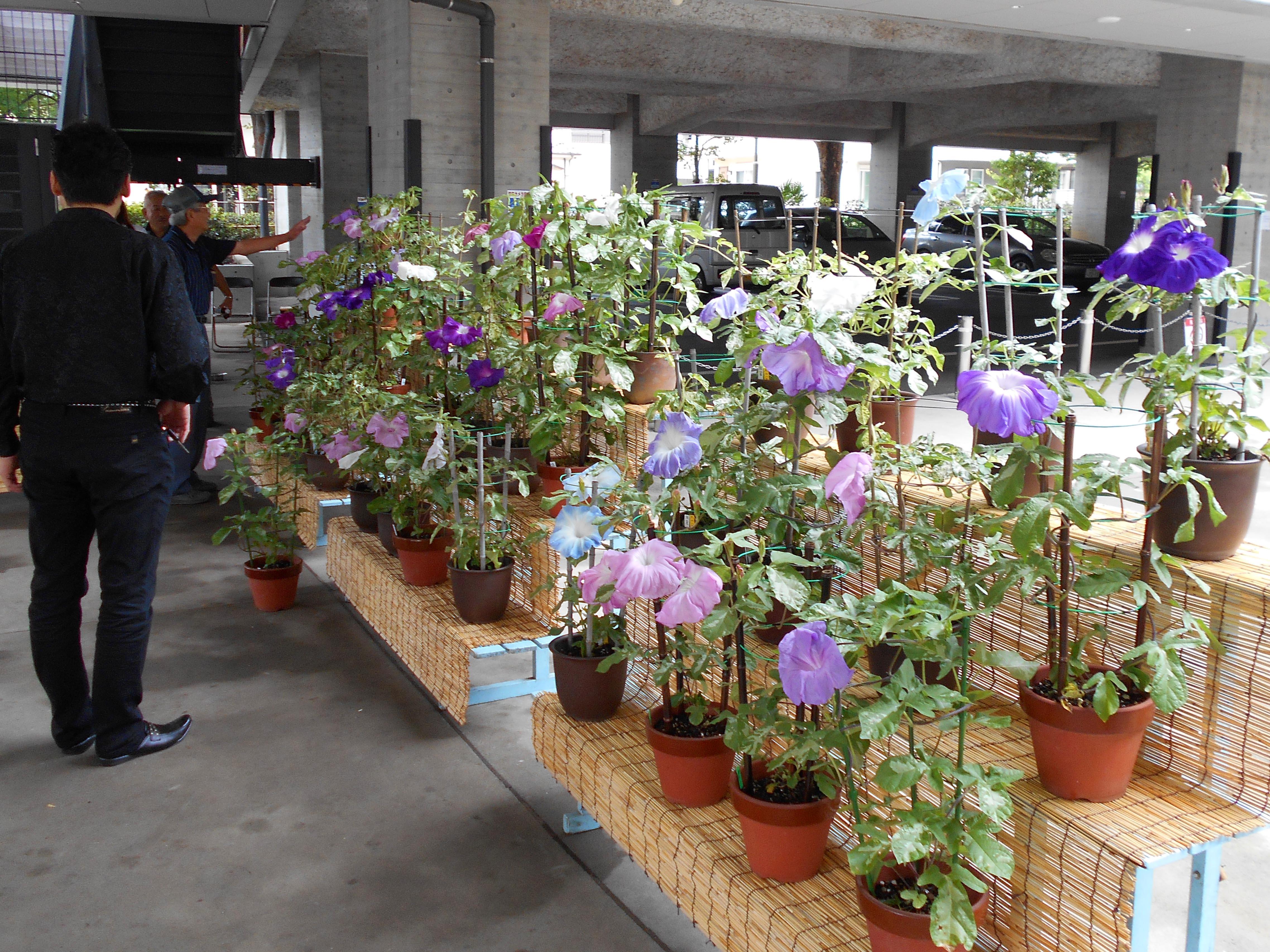 夏の風物詩「大輪朝顔展示会」(戸田公園支店)