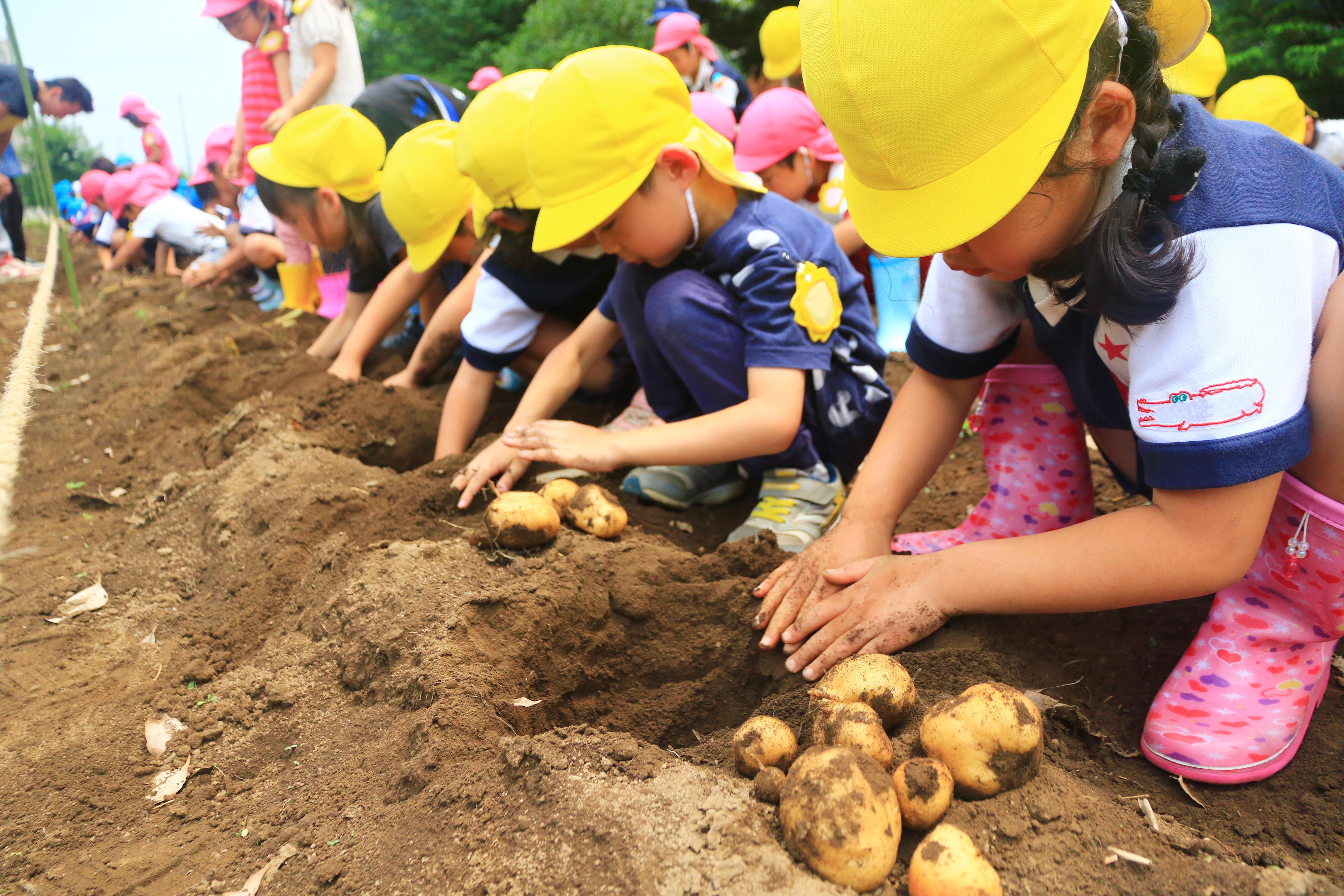 園児がジャガイモ掘り体験(日進支店)