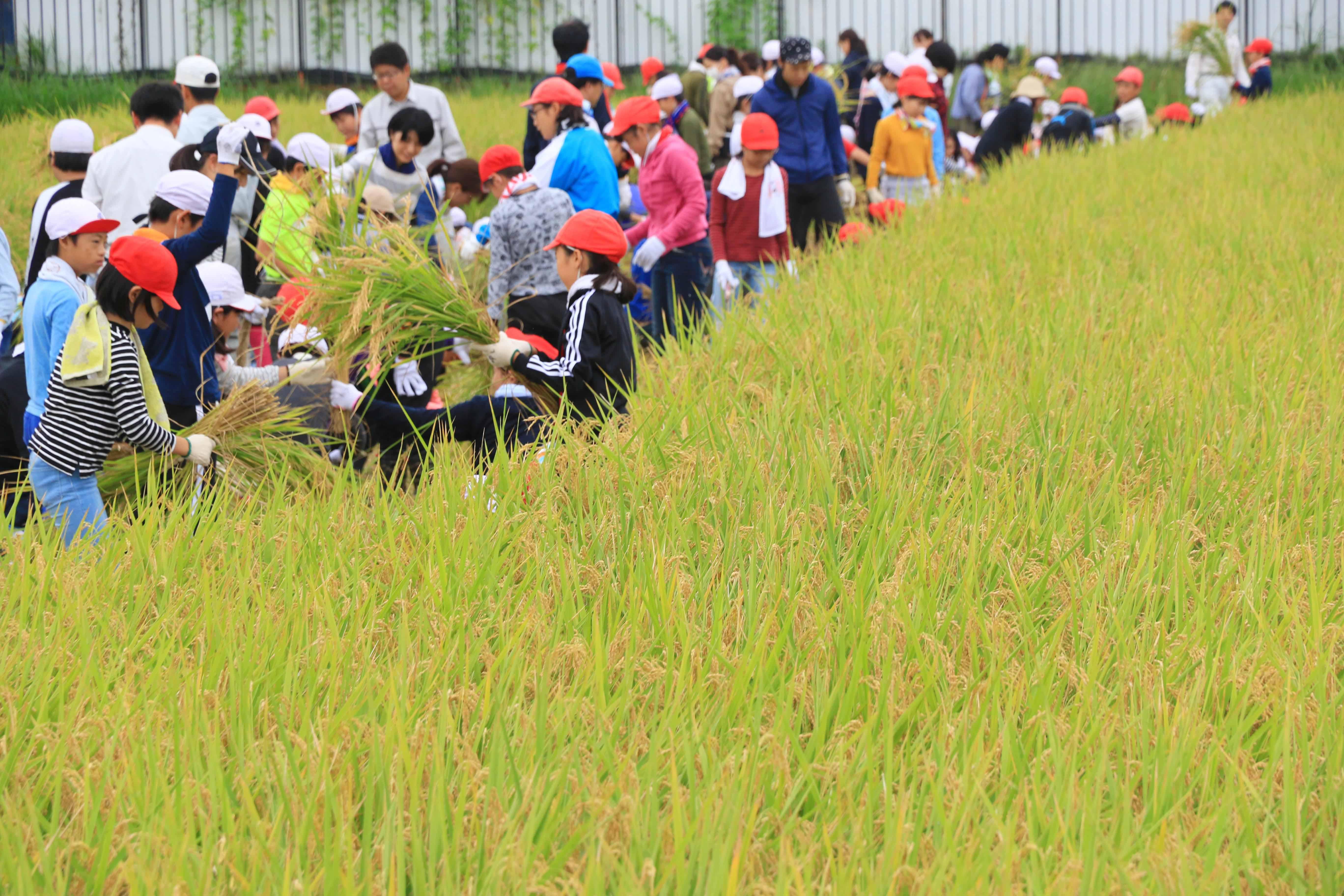 楽しく稲刈り体験(指扇支店:さいたま市)