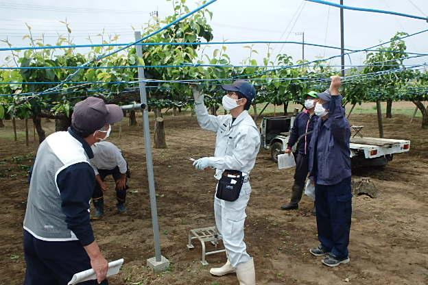 高品質な梨の栽培に向けて(北部営農経済課:北本市)